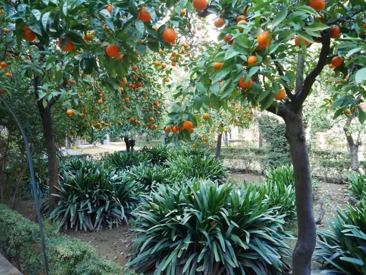 Orangers au Palacio de las Duenas de Séville