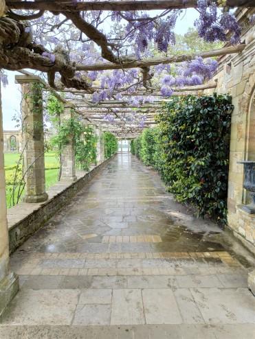 Glycines au Jardin de Hever