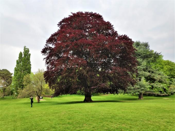 Magnifique arbre au Château de Hever