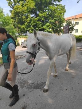Cheval lipizzan, Haras de Lipica, Slovénie