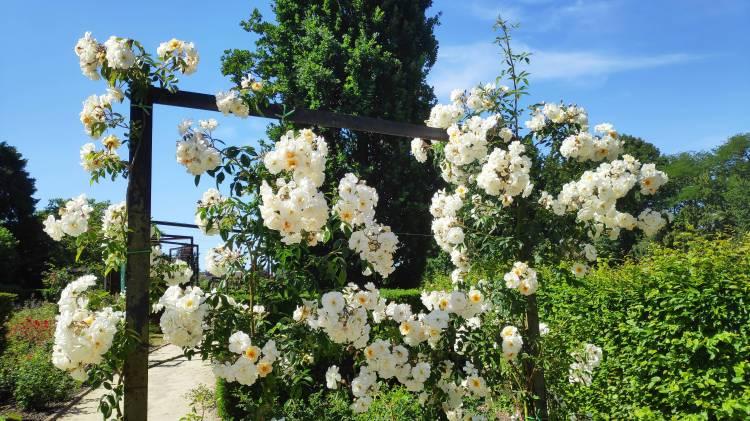 Dans la roseraie de Coloma, Sint-Pieters-Leeuw, Belgique